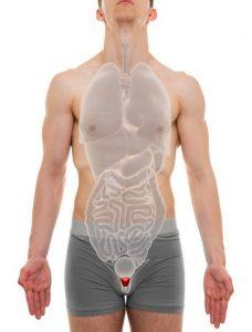 Prostate Male - Internal Organs Anatomy - 3D illustration